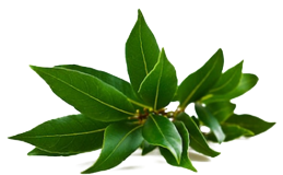 Bay leaves extract